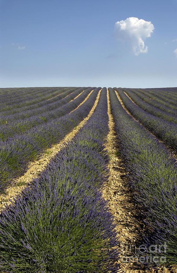 Lavender Photograph - Field Of Lavender. Provence by Bernard Jaubert