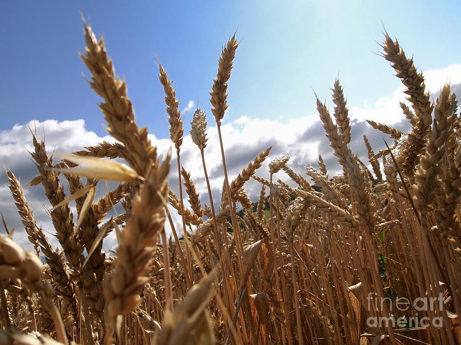 Agriculture Photograph - Field Of Wheat by Bernard Jaubert