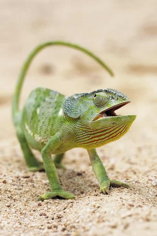 Flap-necked Chameleon Photograph - Flap-necked Chameleon by Georgette Douwma