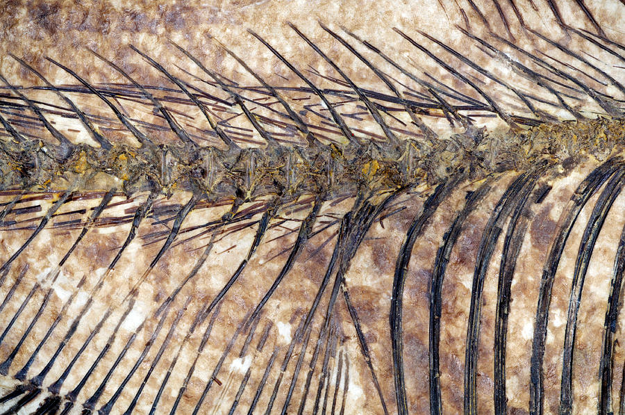Diplomystus Photograph - Fossilised Fish by Lawrence Lawry