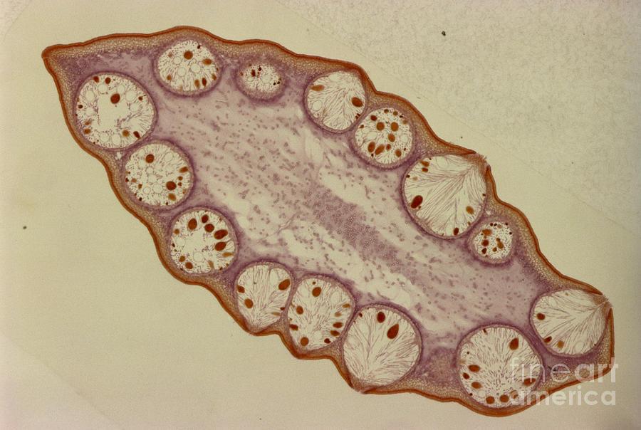 Fucus Sp. Algae, Lm Photograph by M. I. Walker