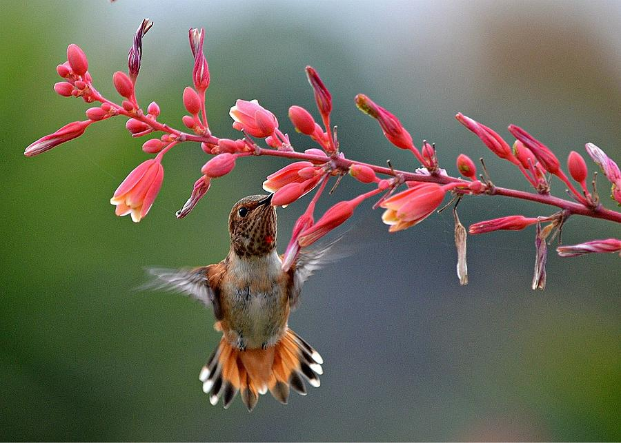 Hummingbird Photograph - Full Frontal  by Fraida Gutovich