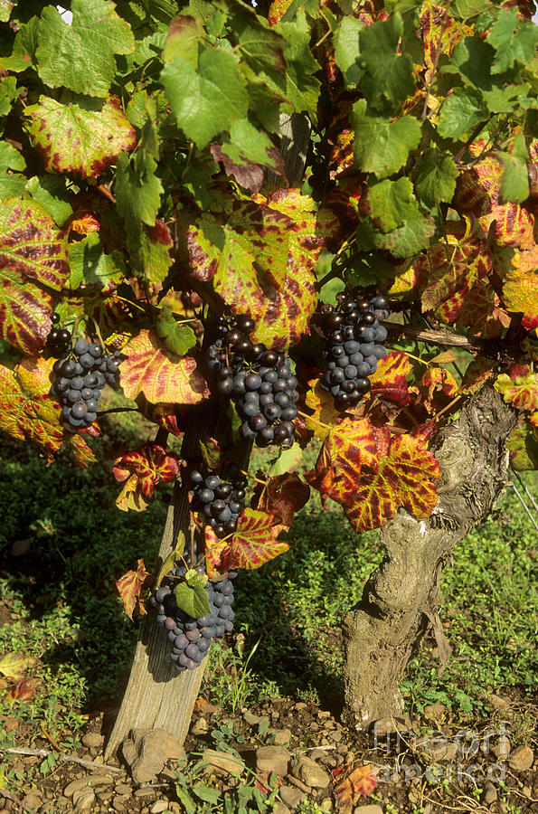 Wine Photograph - Grapes Growing On Vine by Bernard Jaubert