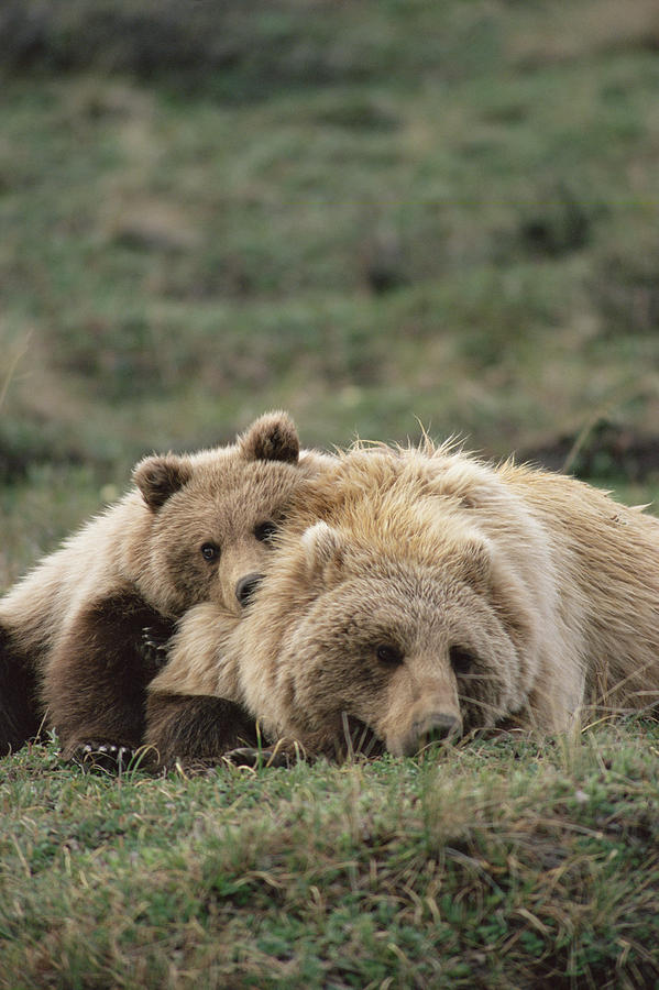 Grizzly Bear Ursus Arctos Horribilis Photograph by Michael Quinton