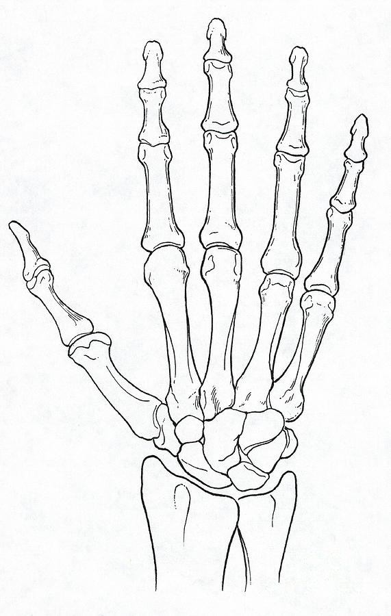 hand and wrist bones photograph by science source