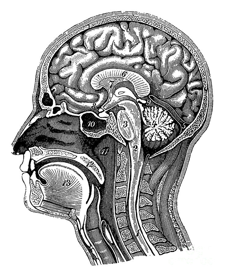 Head And Brain Anatomy Photograph by Science Source