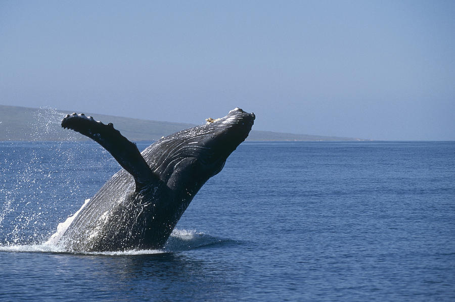 Animals Photograph - Humpback Whale Breaching Maui Hawaii by Flip Nicklin