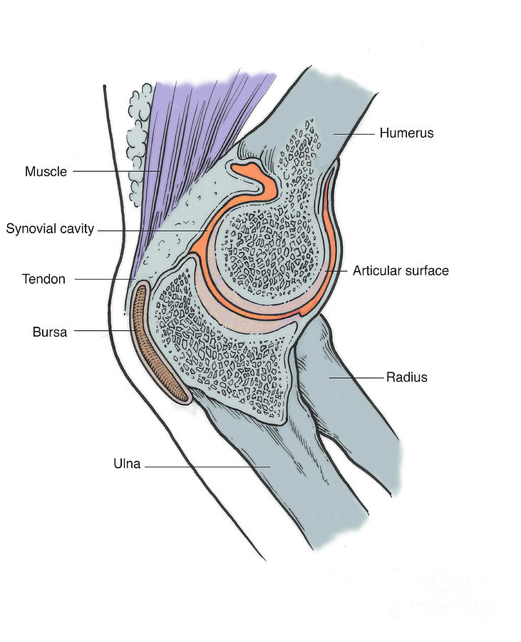 Illustration Of Right Elbow Joint Photograph by Science Source