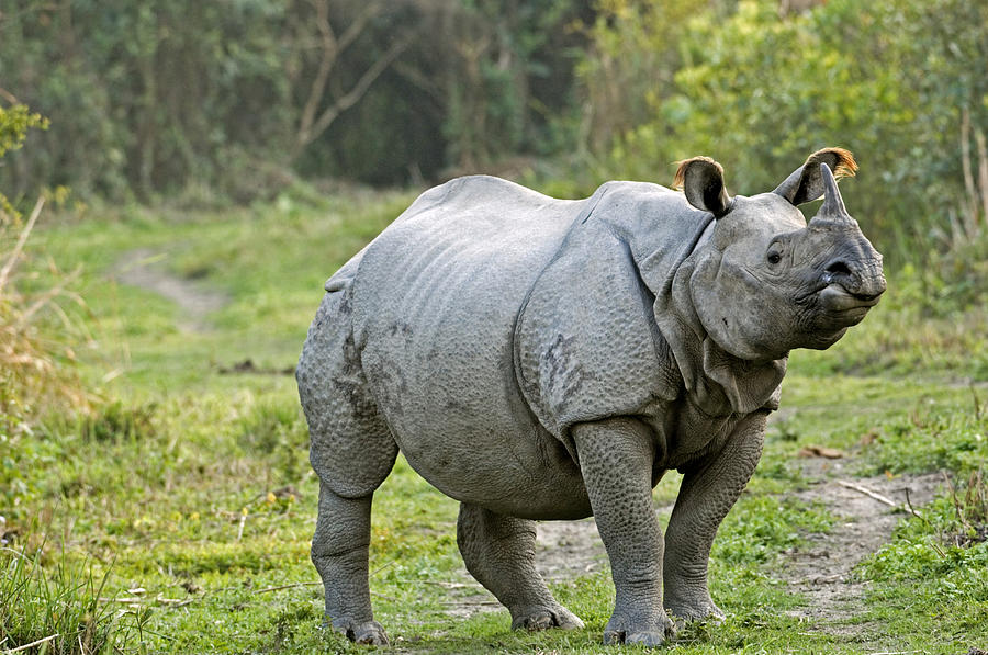 Rhinoceros Unicornis Photograph - Indian Rhinoceros by Tony Camacho