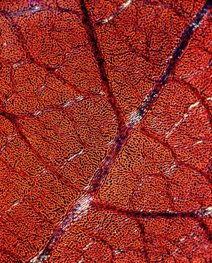 Vein Photograph - Leaf Anatomy, Light Micrograph by Dr Keith Wheeler
