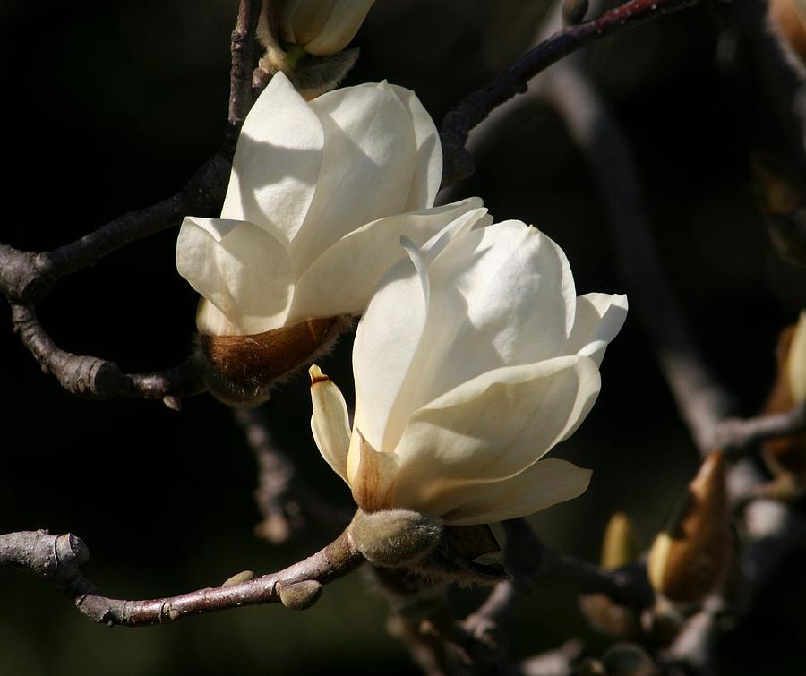 Nature Photograph - Magnolia World Of Beauty by Valia Bradshaw