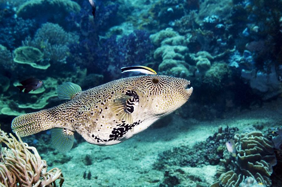 Arothron Mappa Photograph - Map Pufferfish by Georgette Douwma