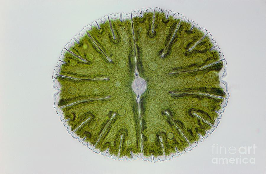 Science Photograph - Micrasterias Sp. Algae Lm by M. I. Walker