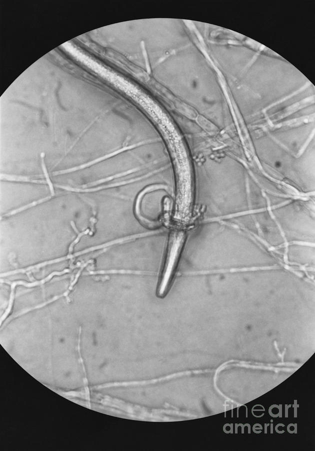 Biology Photograph - Nematode Snared By Predatory Fungus Lm by Photo Researchers, Inc.