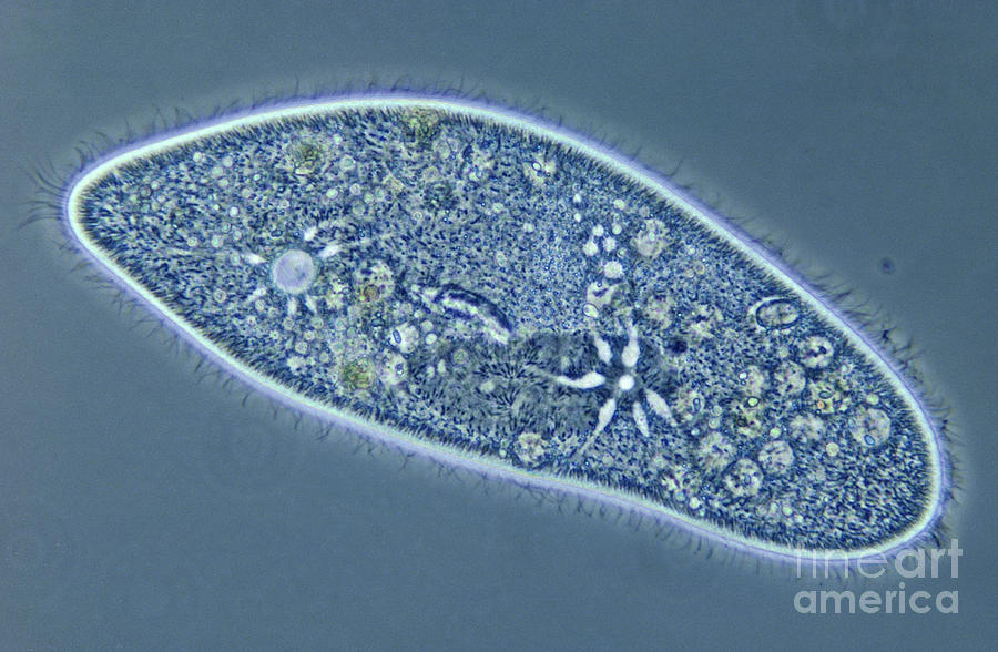 Light Microscopy Photograph - Paramecium Caudatum by M. I. Walker
