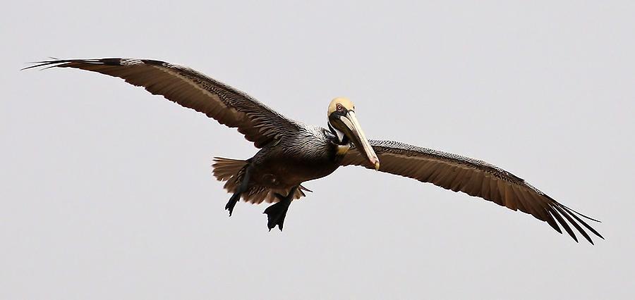 Pelican Photograph - Pelican Wings by Paulette Thomas