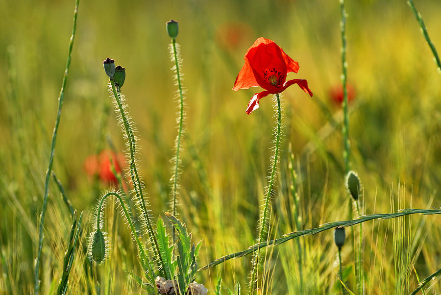 Poppy Photograph - Poppies by Guido Montanes Castillo