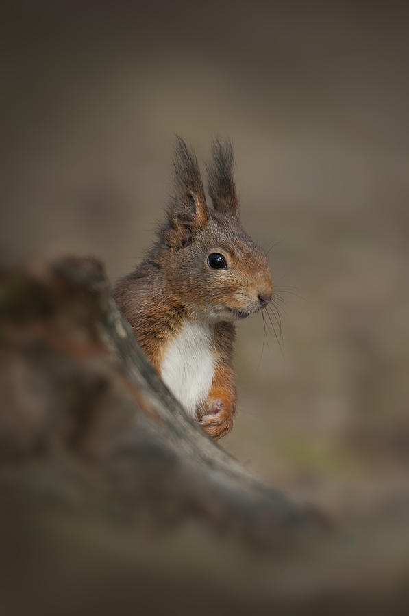 Formby Photograph - Red Squirrel by Andy Astbury