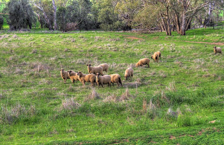 Sheep Photograph - Rural Australia by Imagevixen Photography