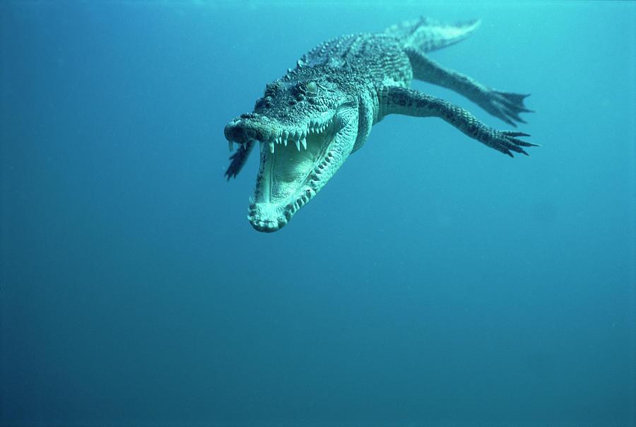 Mp Photograph - Saltwater Crocodile Crocodylus Porosus by Mike Parry