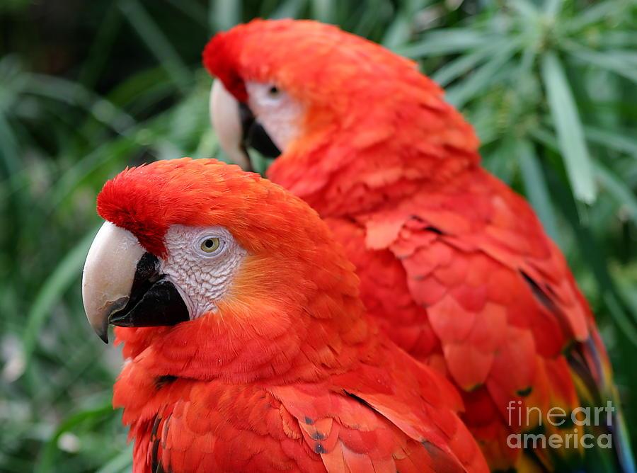 Red Photograph - Scarlet Macaw  by Henrik Lehnerer