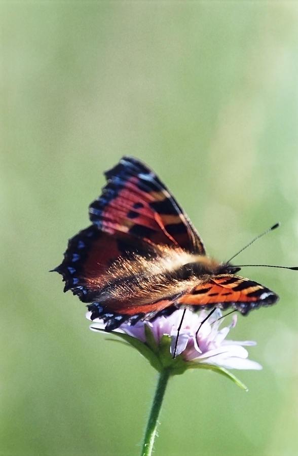 Butterfly Photograph - Small Tortoiseshell by Patrick Kessler