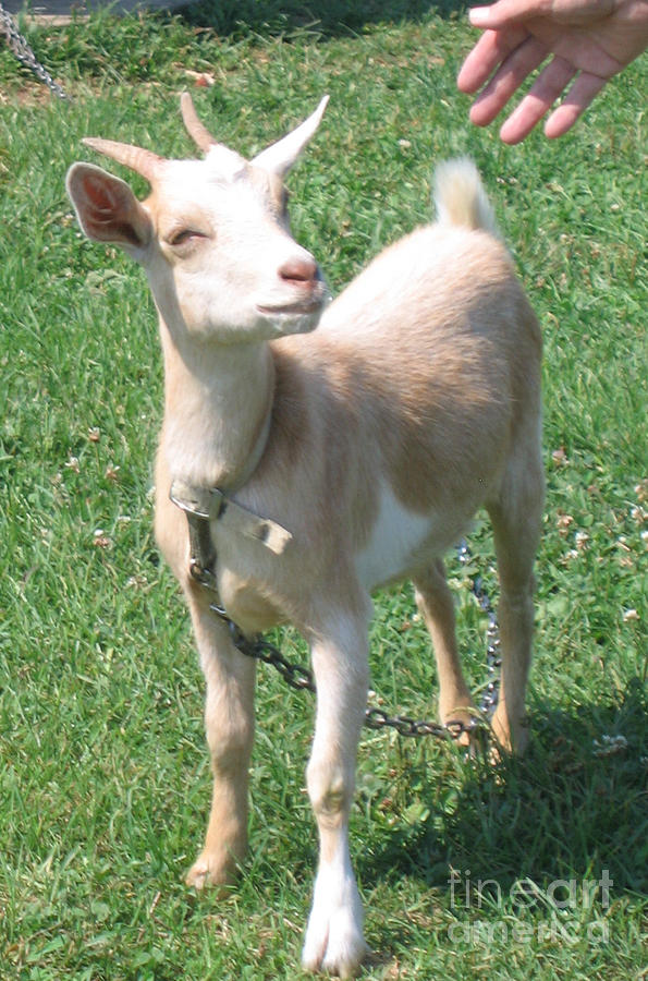 Goat Photograph - Smile by Marlene Robbins