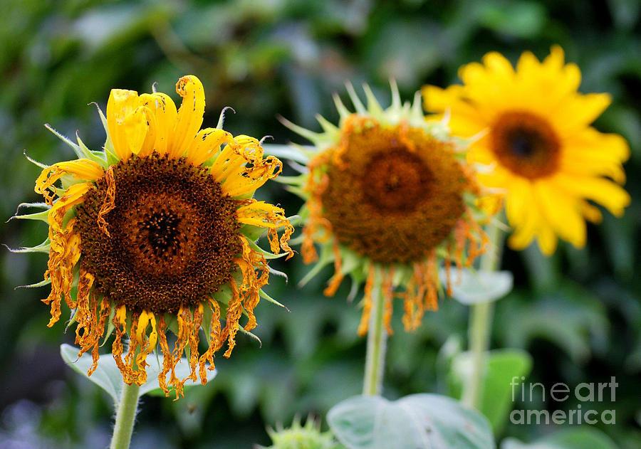 Sunflower Photograph - 3 Sunflowers by Nancy Mueller
