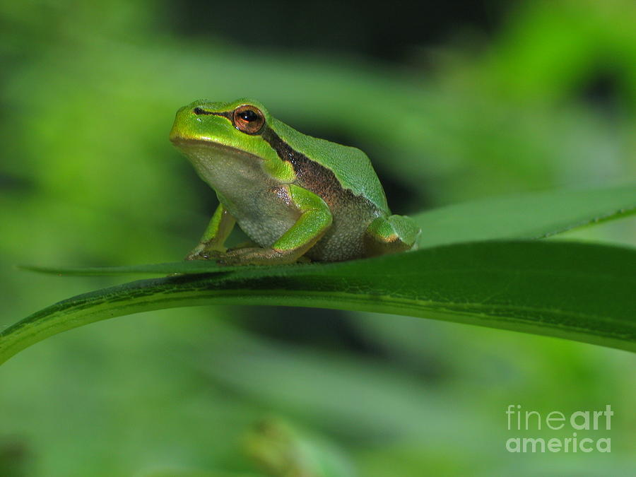 Nature Photograph - Tree Frog by Odon Czintos