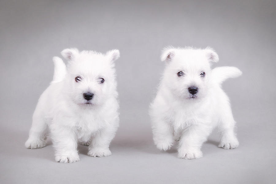 Animal Photograph - West Highland White Terrier Puppies by Waldek Dabrowski