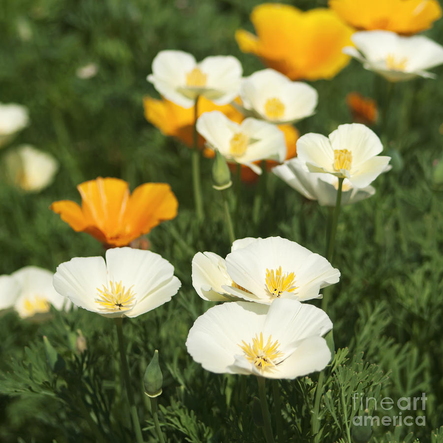 White poppies photograph by blink images poppy photograph white poppies by blink images mightylinksfo