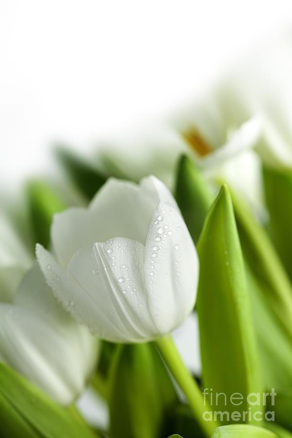 Dew Photograph - White Tulips by Nailia Schwarz