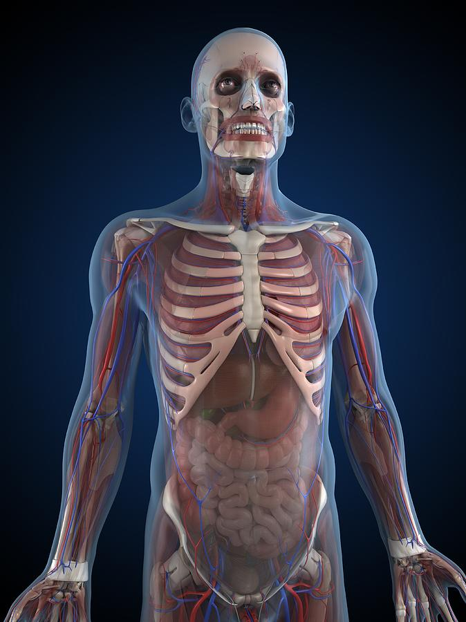 Male Anatomy, Artwork Digital Art by Sciepro