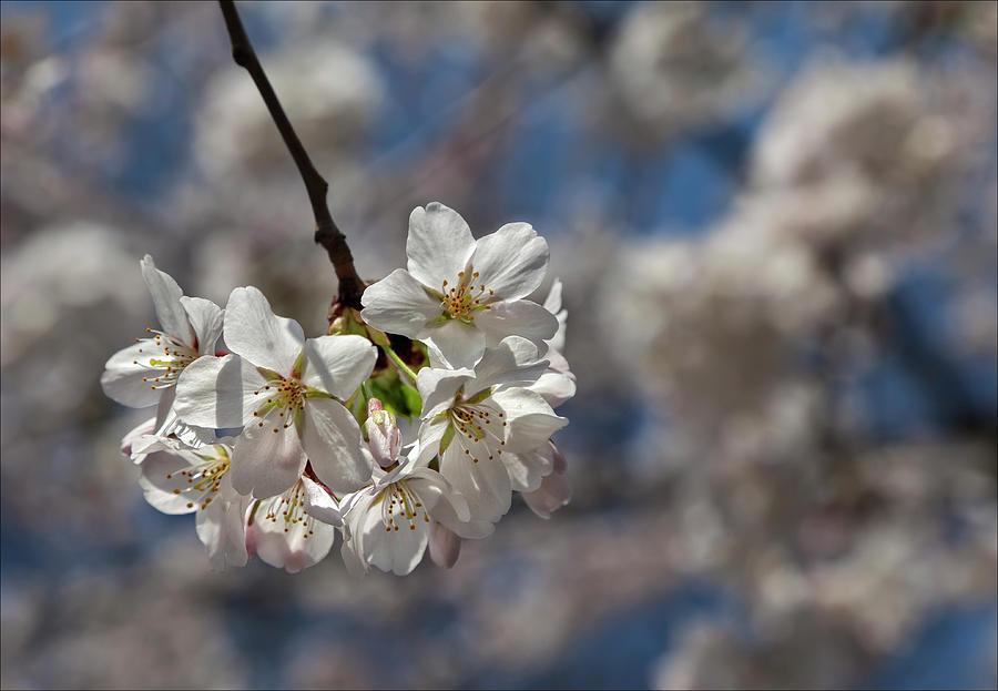 Cherry Blossoms Glass Art - Cherry Blossoms by Robert Ullmann