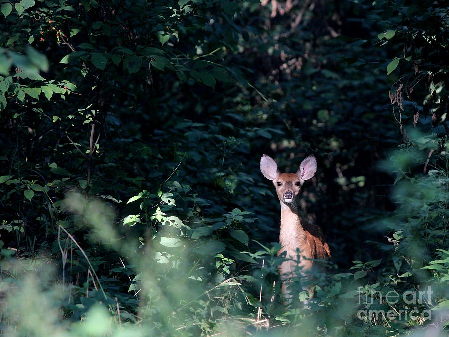 Nature Photograph - White-tailed Deer by Jack R Brock