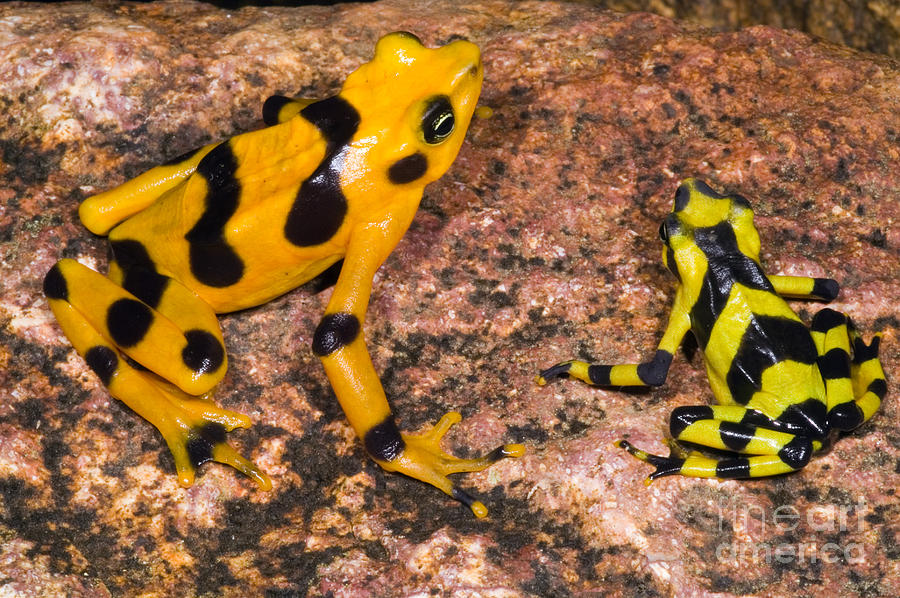 Nature Photograph - Harlequin Toad by Dante Fenolio