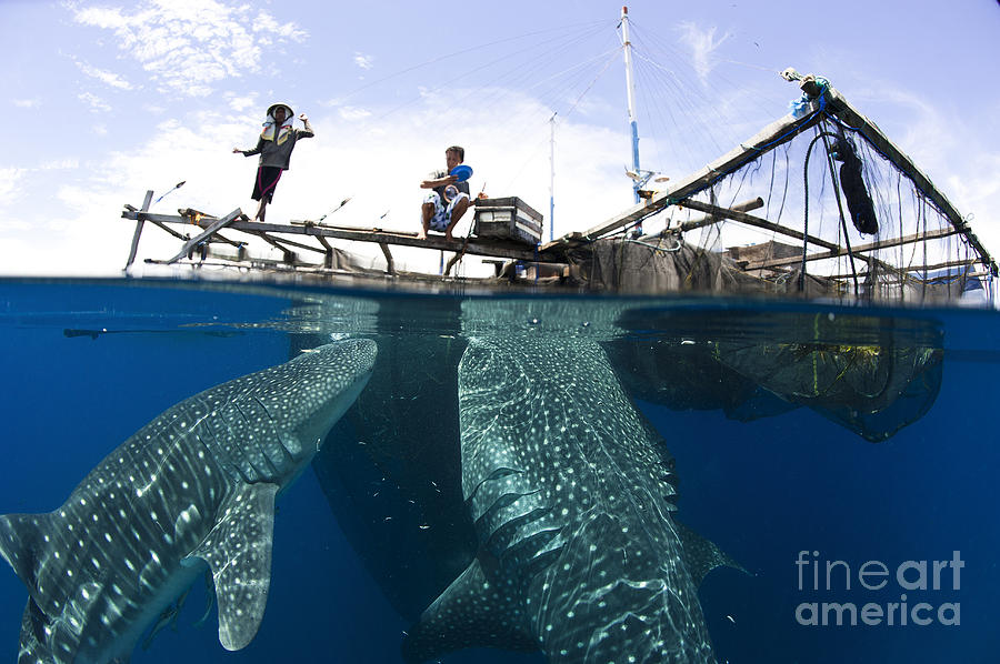 Holding Photograph - Whale Shark Feeding Under Fishing by Steve Jones