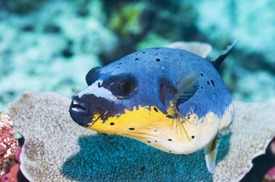1 Photograph - Blackspotted Puffer by Georgette Douwma