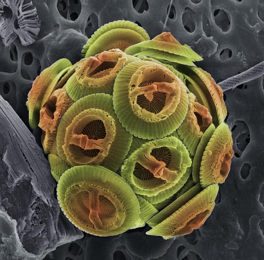 Gephyrocapsa Oceanica Photograph - Calcareous Phytoplankton, Sem by Steve Gschmeissner