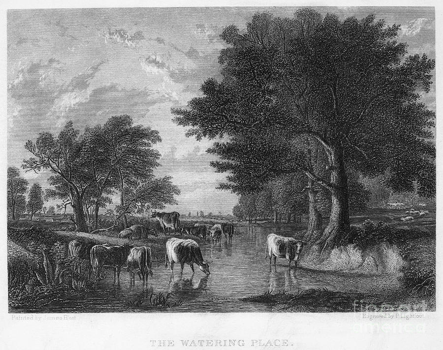 19th Century Photograph - Cattle, 19th Century by Granger