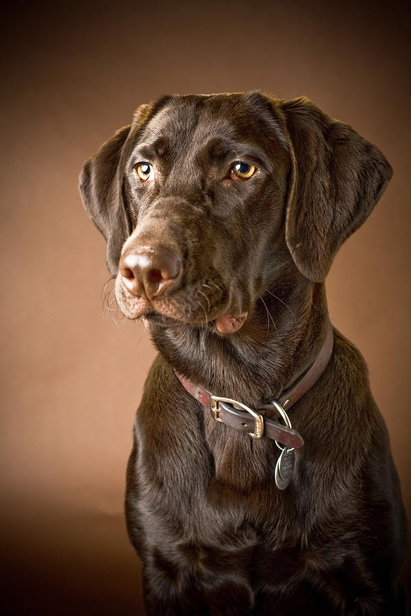 Chocolate Labrador Retriever Portrait Photograph By David
