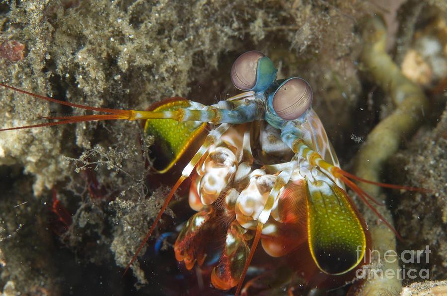 Invertebrate Photograph - Close-up View Of A Mantis Shrimp, Papua by Steve Jones
