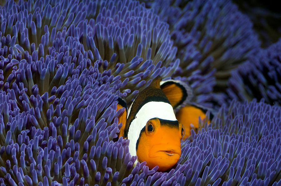 Stichodactyla Gigantea Photograph - Clown Anemonefish by Georgette Douwma