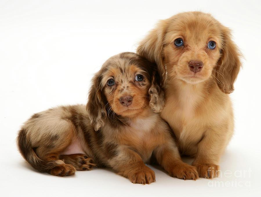 Animal Photograph - Dachshund Pups by Jane Burton