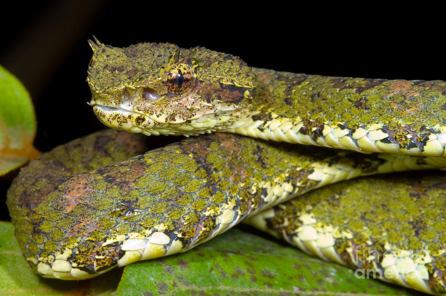 Eyelash Viper Photograph By Dante Fenolio