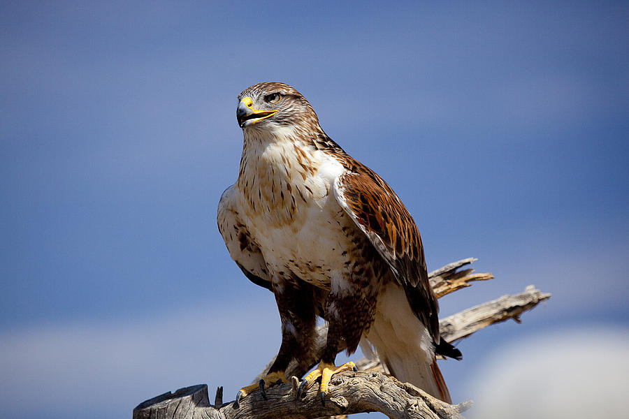 Birds Photograph - Ferriginous Hawk by Dan Nelson