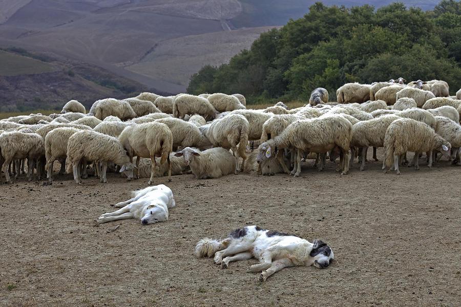 Tuscany Photograph - Flock Of Sheep by Joana Kruse