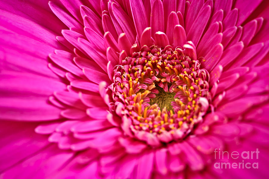 Flower Photograph - Gerbera Flower by Elena Elisseeva