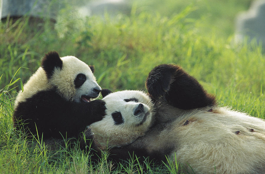 Giant Panda Ailuropoda Melanoleuca Photograph by Cyril Ruoso
