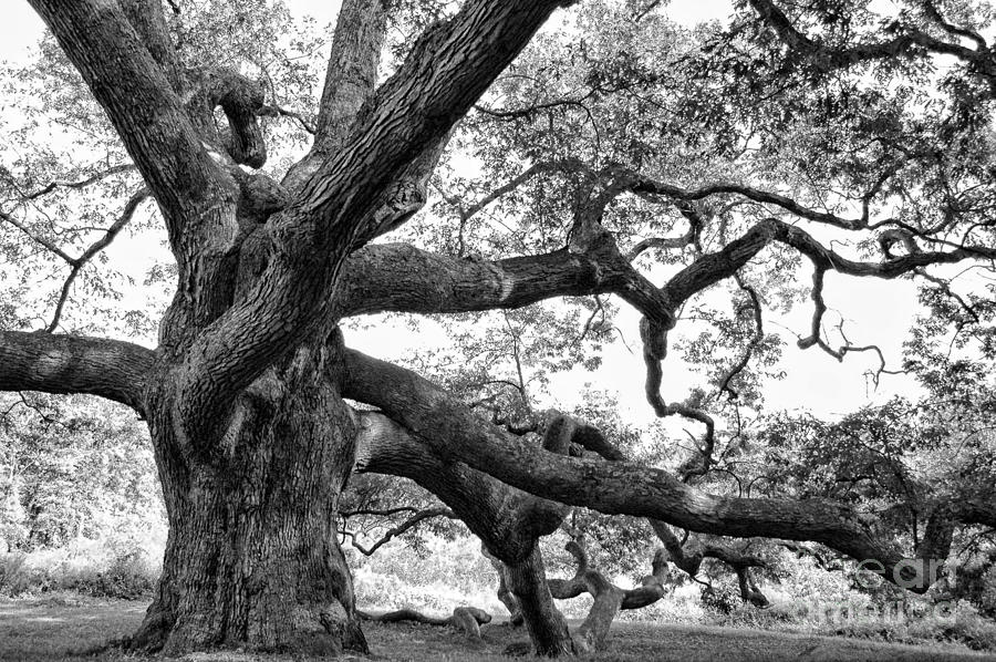 Tree Photograph - Granby Oak by HD Connelly